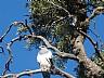 Águila Mora en Reserva de Merlo en Merlo
